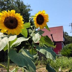 夏野菜の収穫とカブトムシの放牧・・・の画像