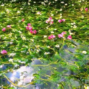 清流に咲く可憐な水中花バイカモ@滋賀 地蔵川の画像