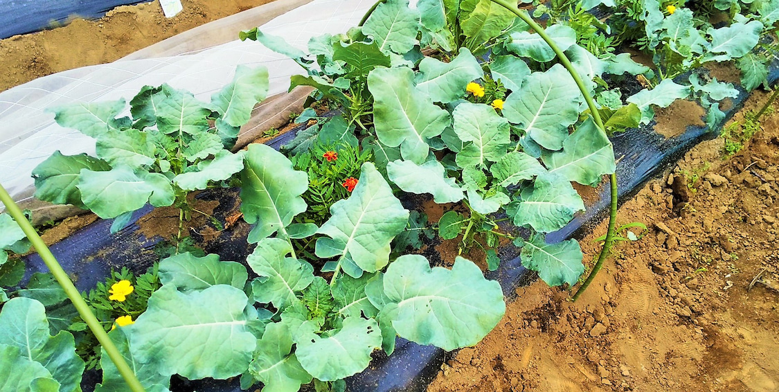 ブロコリーカリフラワー収穫!の記事より