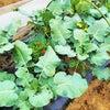 ブロコリーカリフラワー収穫!の画像