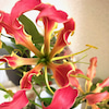 ラテン語で、「みごとな」の意味。綺麗なグロリオーサの花です。の画像