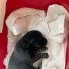 野犬の赤ちゃん、ポメ老犬達のレスキューの画像