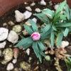 根性カーネーション、続々報、ついに咲いたー!!の画像