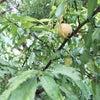 桃もも〇の画像