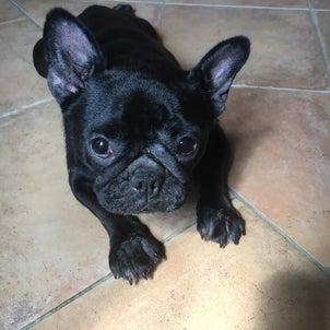 保護犬マルチーズ  チーズ+フレブル 黒♀あずきの画像
