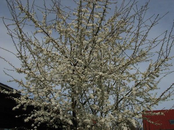 西洋スモモの花