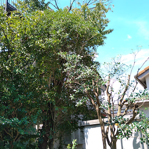 庭木の剪定@日高市の画像