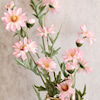 花言葉 孔雀草の画像