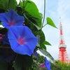 街散歩/東京タワーと花の画像