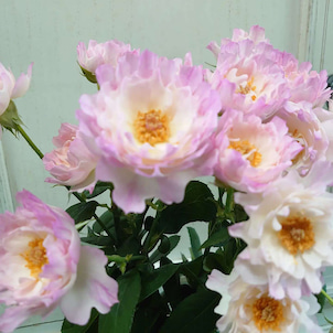 【花びらが王冠の様に見えるバラ】の画像