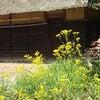 オミナエシ (女郎花)の画像