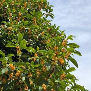 金木犀には、薄い青空とひんやりした空気が似合う。今年は早くに咲いたなぁ。多摩川...の画像