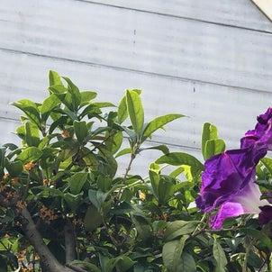 多摩川駅の田園調布せせらぎ館側では、金木犀が咲き始め…朝顔も咲いてる。朝顔は夏のイメー...の画像