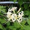 ヒガンバナ(白花) (彼岸花) の画像