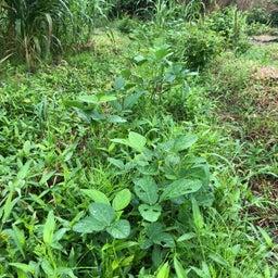 画像 柳川で半農半X48 まだまだ頑張る夏野菜  の記事より 4つ目