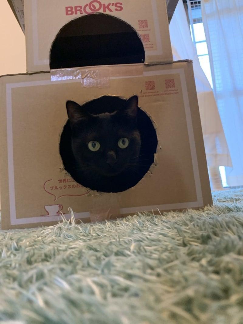 段ボールハウスから顔を出す黒猫ハンナさんの画像