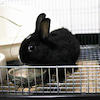 茨城県水戸市にあるウサギ販売店「プティラパン」 ネザーランド『チロル』ベビー 7/23生⑥の画像