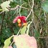 ツリバナ (吊花)の画像