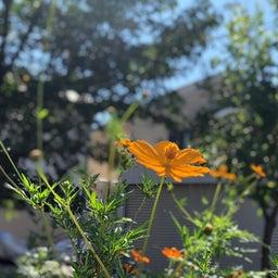 画像 キバナコスモスに秋桜 の記事より 1つ目