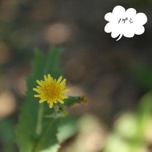 食べられる野花:ノゲシの画像
