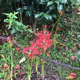 画像 キバナコスモスに秋桜 の記事より 4つ目