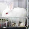 茨城県水戸市にあるウサギ販売店「プティラパン」 ネザーランド『ルイ』ベビー 7/30生⑦の画像