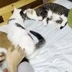息子のベッドが猫いっぱいで定員オーバーですw