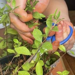 画像 #ヘナ #自家製ヘナ #ヘナの刈り取り #乾燥 #製粉 #100メッシュ #ふるいにかける の記事より 3つ目