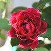 秋バラの花殻切りのやり方♪*黒点病の予防(*^^)v