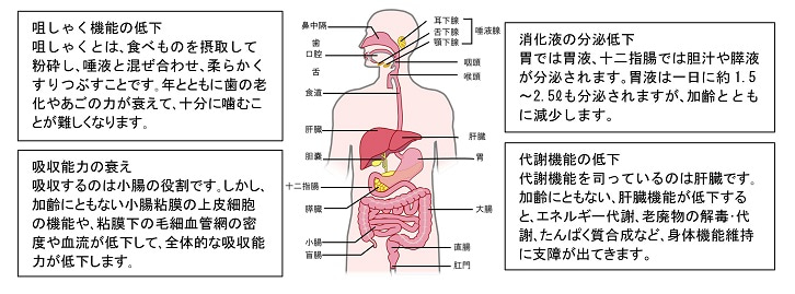 老化現象・消化管