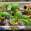 白菜栽培スタート(土作り~定植~防虫ネット)