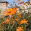 【 花 】・・・・・キバナコスモス