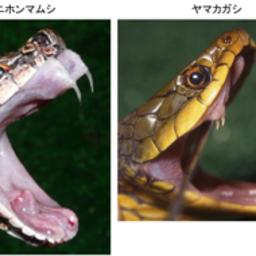 画像 マムシよりも恐ろしい?猛毒蛇ヤマカガシ現る! の記事より 2つ目