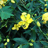 ハナセンナ (花センナ)の画像