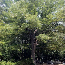 画像 末広がりの木 の記事より