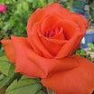 オレンジサーモン色のアヴェマリア、カマクラ、シャリマー、みさき、ジュリアなど@毎日のバラ作業