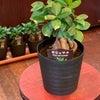 観葉植物入荷の画像