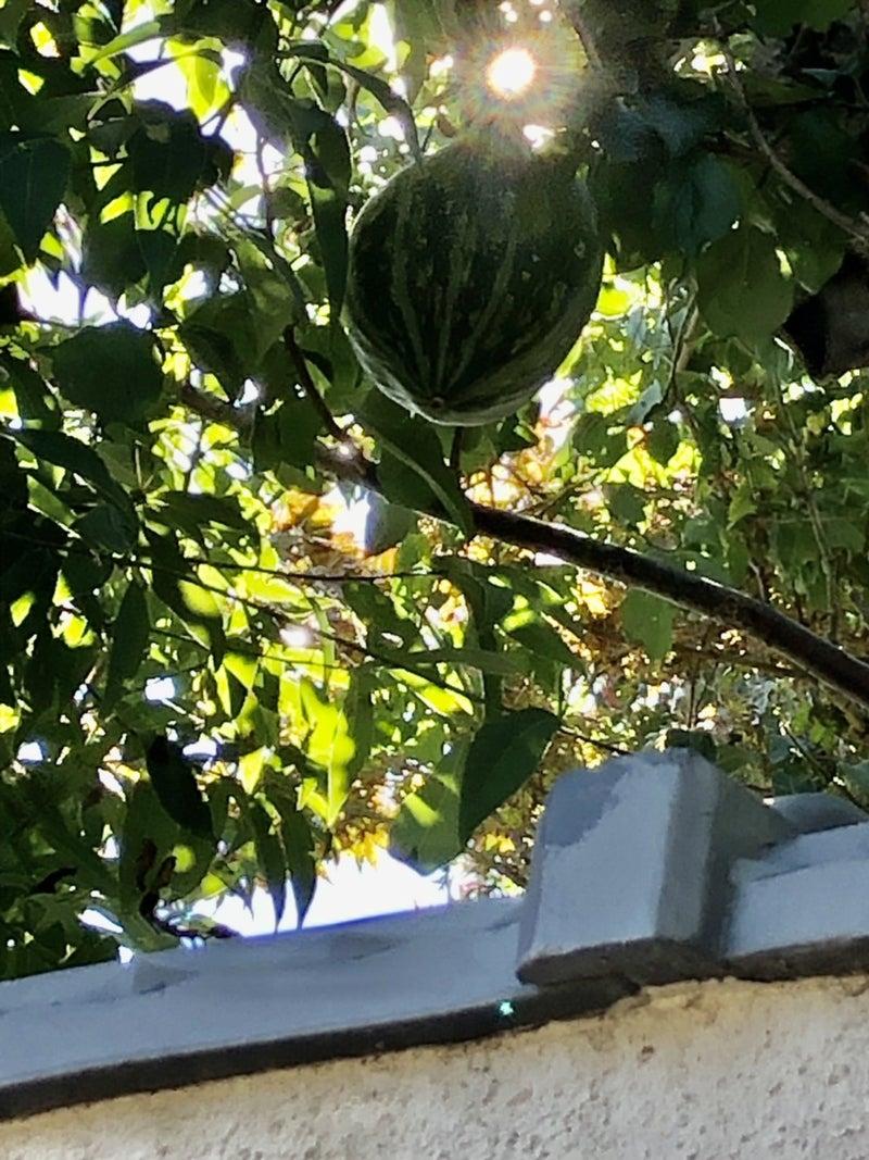 カボチャが木の上に?