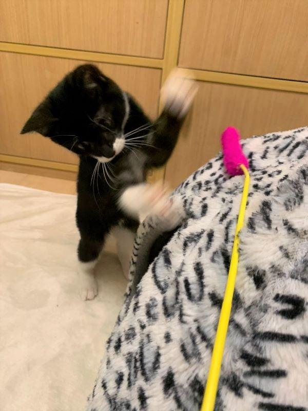 じゃらしを狩る黒白猫ルナちゃんの画像