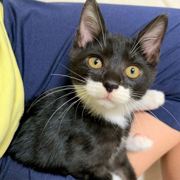 膝に乗る黒白猫ルナちゃんの画像