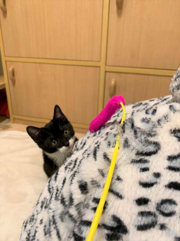 じゃらしを狙う白黒猫ルナちゃんの画像