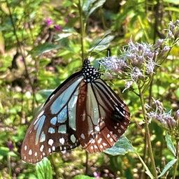 画像 フジバカマと蝶 の記事より 1つ目