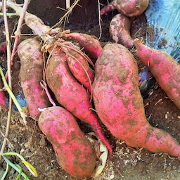 画像 玉ねぎの種まき〜発芽!モロッコインゲン収穫! の記事より 6つ目