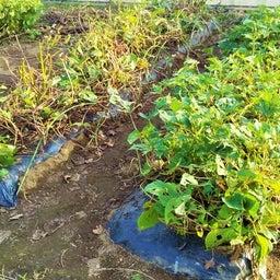 画像 玉ねぎの種まき〜発芽!モロッコインゲン収穫! の記事より 5つ目