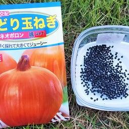 画像 玉ねぎの種まき〜発芽!モロッコインゲン収穫! の記事より 1つ目