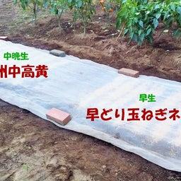画像 玉ねぎの種まき〜発芽!モロッコインゲン収穫! の記事より 2つ目
