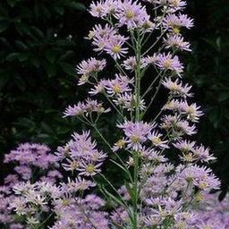 画像 紫苑の花*Ladiant Beauty の記事より 1つ目