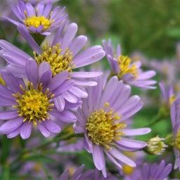 画像 紫苑の花*Ladiant Beauty の記事より 5つ目