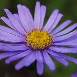 画像 紫苑の花*Ladiant Beauty の記事より 2つ目