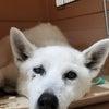 老犬せんりちゃんが危篤にの画像